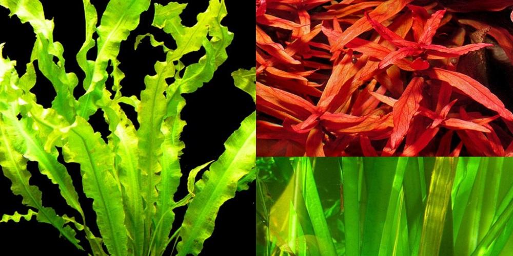 Домашний аквариум: растения