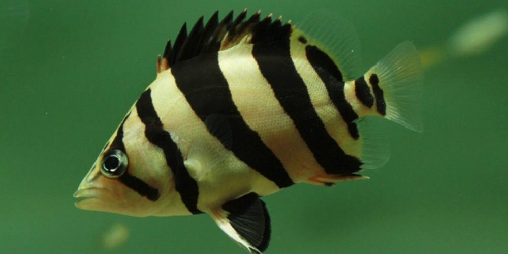 Домашний аквариум: тигровый окунь