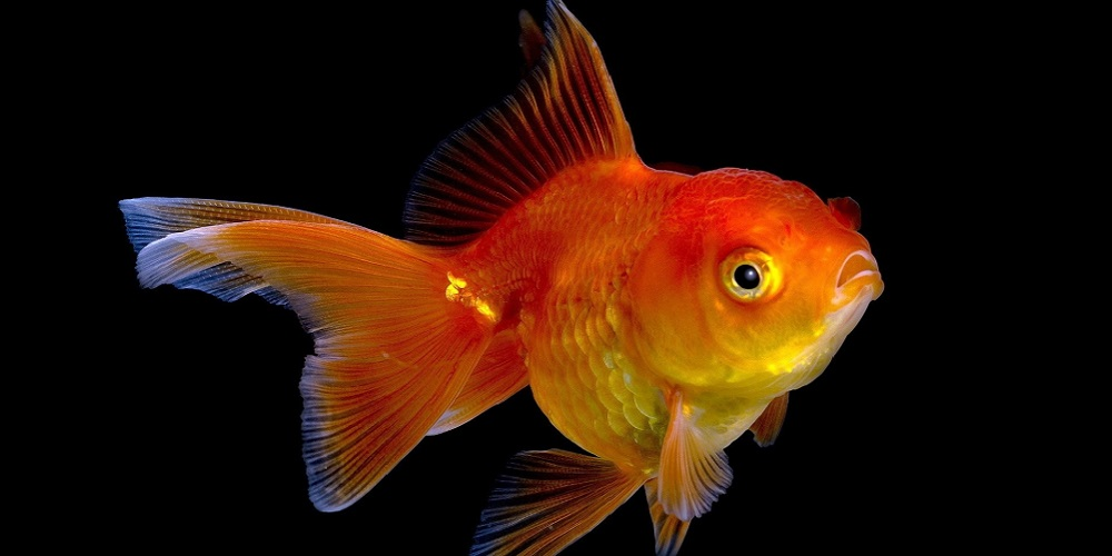 Домашний аквариум: золотая рыбка