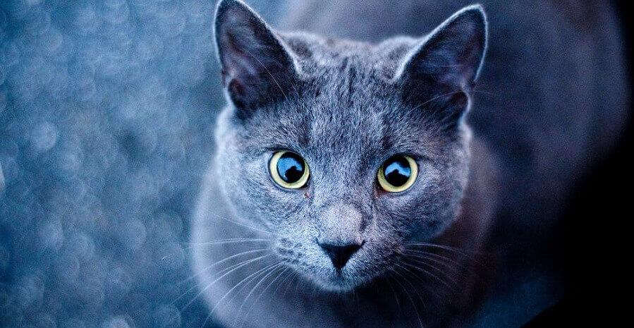 Голубая русская кошка