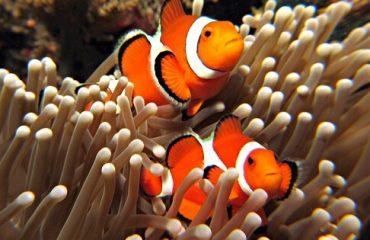 Рыбки-клоуны