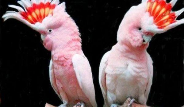 Интересные розовые какаду