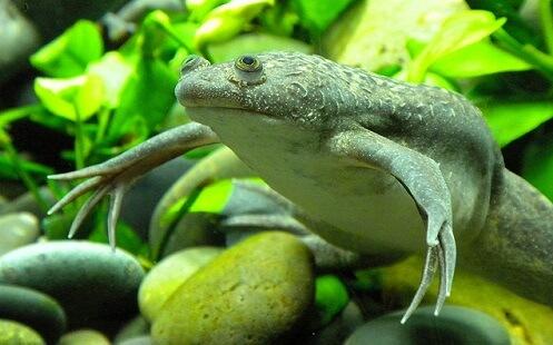 лягушки для аквариума