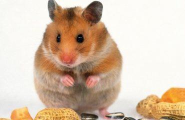 питание домашних грызунов