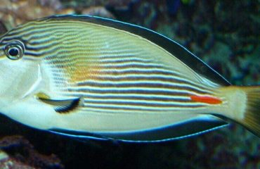 Рыбка-хирург