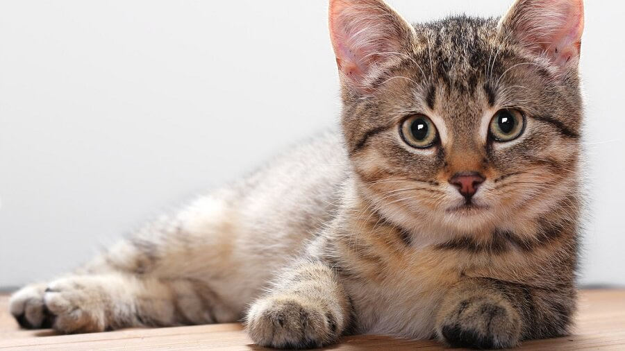 содержание и уход за кошками