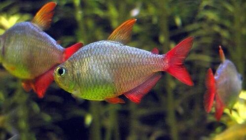 Рыбки-тетры