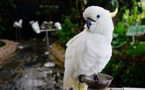 белый большой попугай фото