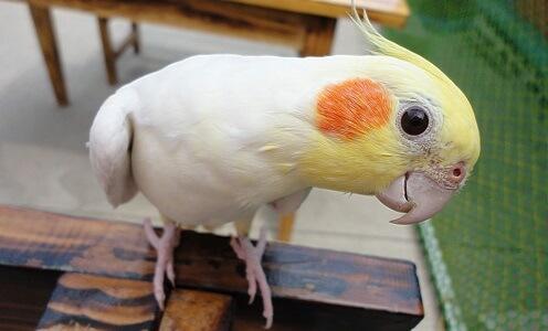 Вид попугая Корелла