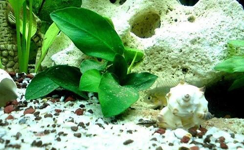 Растения в аквариум