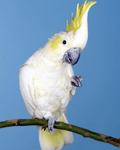 Вид попугаев Какаду