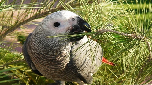 Вид попугаев Жако