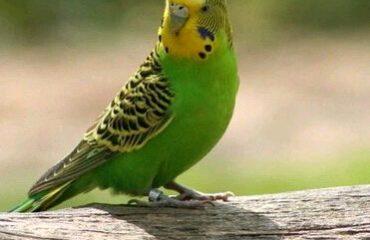 болезни волнистых попугаев симптомы и их лечение