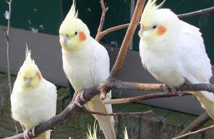 как ухаживать за попугаем корелла