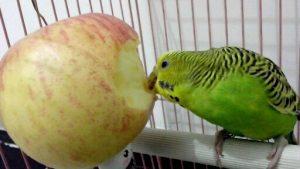 попугаи что любят кушать