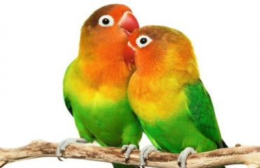 попугаи средних размеров