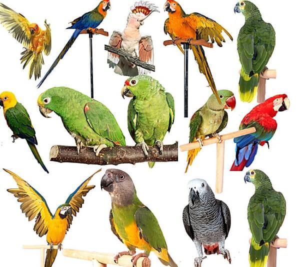 какие виды попугаев бывают