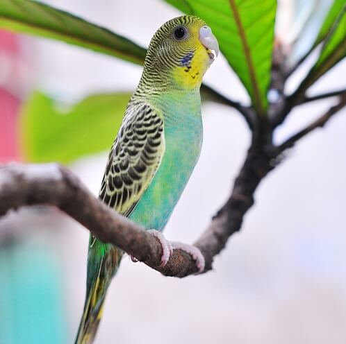 самый маленький попугай
