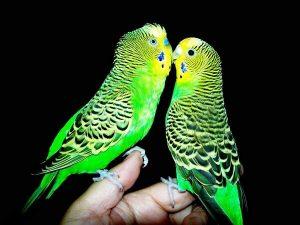 когда можно выпускать волнистого попугая из клетки