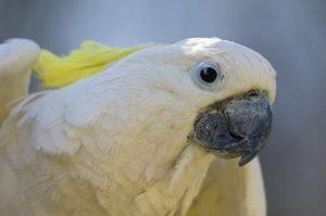белый большой попугай с хохолком