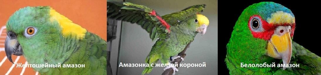 Амазоны говорящие попугаи