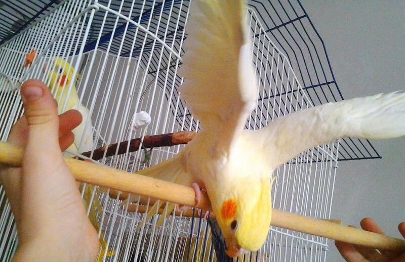 Содержание попугая корелла в домашних условиях
