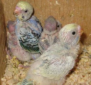 птенцы попугая