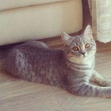Анатолийская порода кошек - описание породы