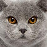Британская короткошёрстная кошка - голубой окрас