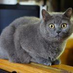 Британская короткошёрстная кошка - уход