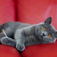 Британская кошка - характер