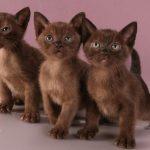 Бурманская кошка - детство