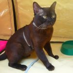 Бурманская кошка - уход