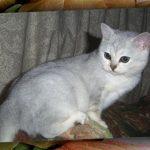 Бурмилла короткошерстная - спокойная порода