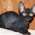 Донской сфинкс - общительная порода