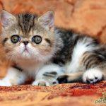 Экзотическая короткошерстная кошка - уход