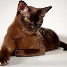 Европейская бурманская кошка - грациозная порода