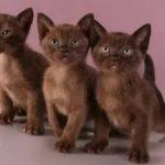 Европейская бурманская кошка - кошка монахов