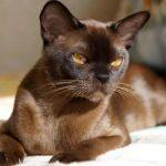 Европейская бурманская кошка - особенности породы