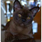 Европейская бурманская кошка - уход