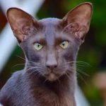 Гавана браун - умная порода