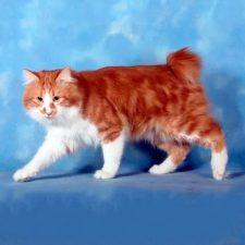 Карельский бобтейл длинношерстный - кошки без хвоста