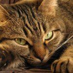 Кельтская кошка - описание породы