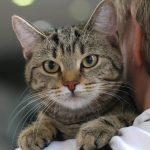 Кельтская кошка - особенности породы