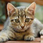 Кельтская кошка - содержание