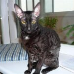 Корнишрекс - грациозные кошки