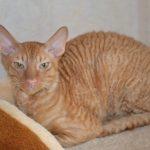 Корнишрекс - интеллигентные кошки