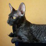 Корнишрекс - необычные кошки
