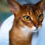 Красивые глаза Абиссинской