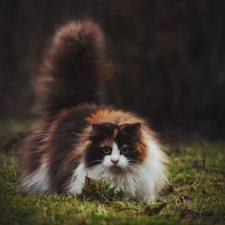 Норвежская лесная кошка - кошка с шикарным хвостом